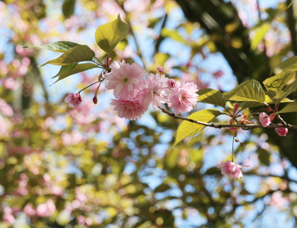 Kwitnąca gałązka drzewa migdałowca jako symbol piękna, spokoju i uważności