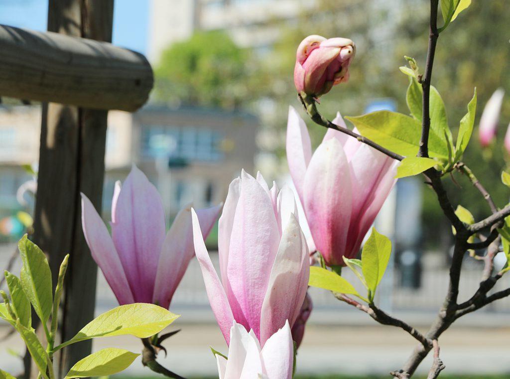 Kwitnąca gałązka różowej magnolii jako symbol skupienia i uważności
