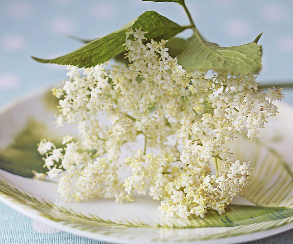 kwiaty czarnego bzu idealne na syrop, miodek i herbatkę